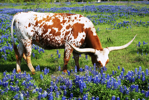 Longhorns & bluebonnets near Ennis, TX.